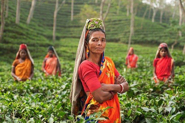 Le thé noir, sa feuille, sa classification, ses propriétés.